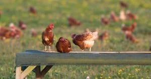 Hens perching on a wooden slat
