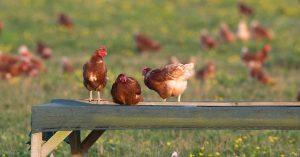 Hens perching on a wooden slat