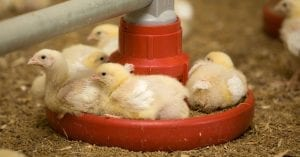 Chicks in a feed pan