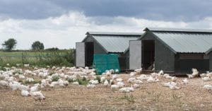 freee range broilers