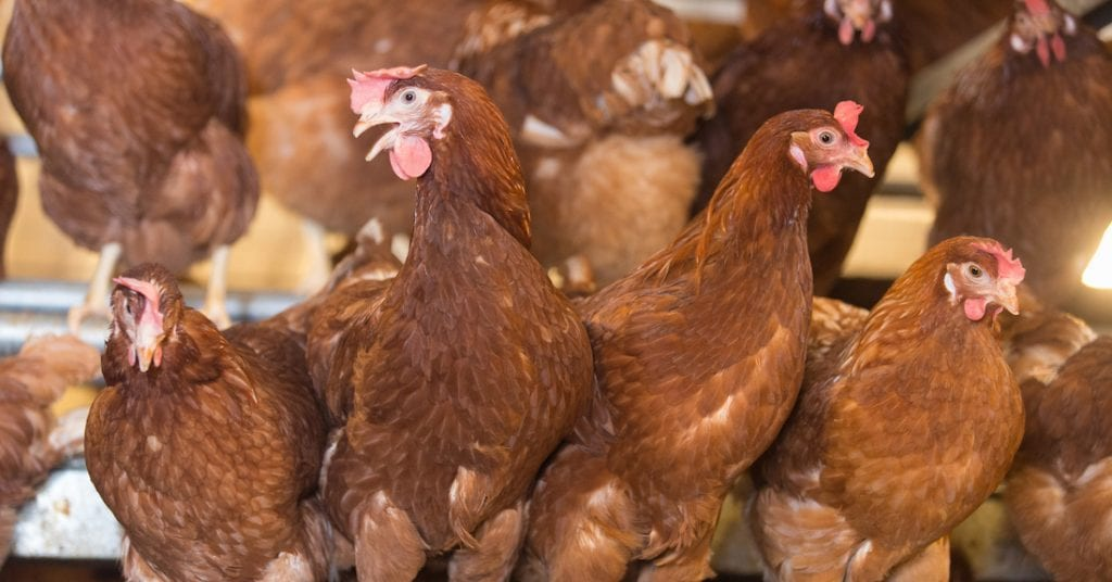 hens in a barn