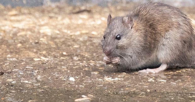 Rat eating spilled grain in a farmyard