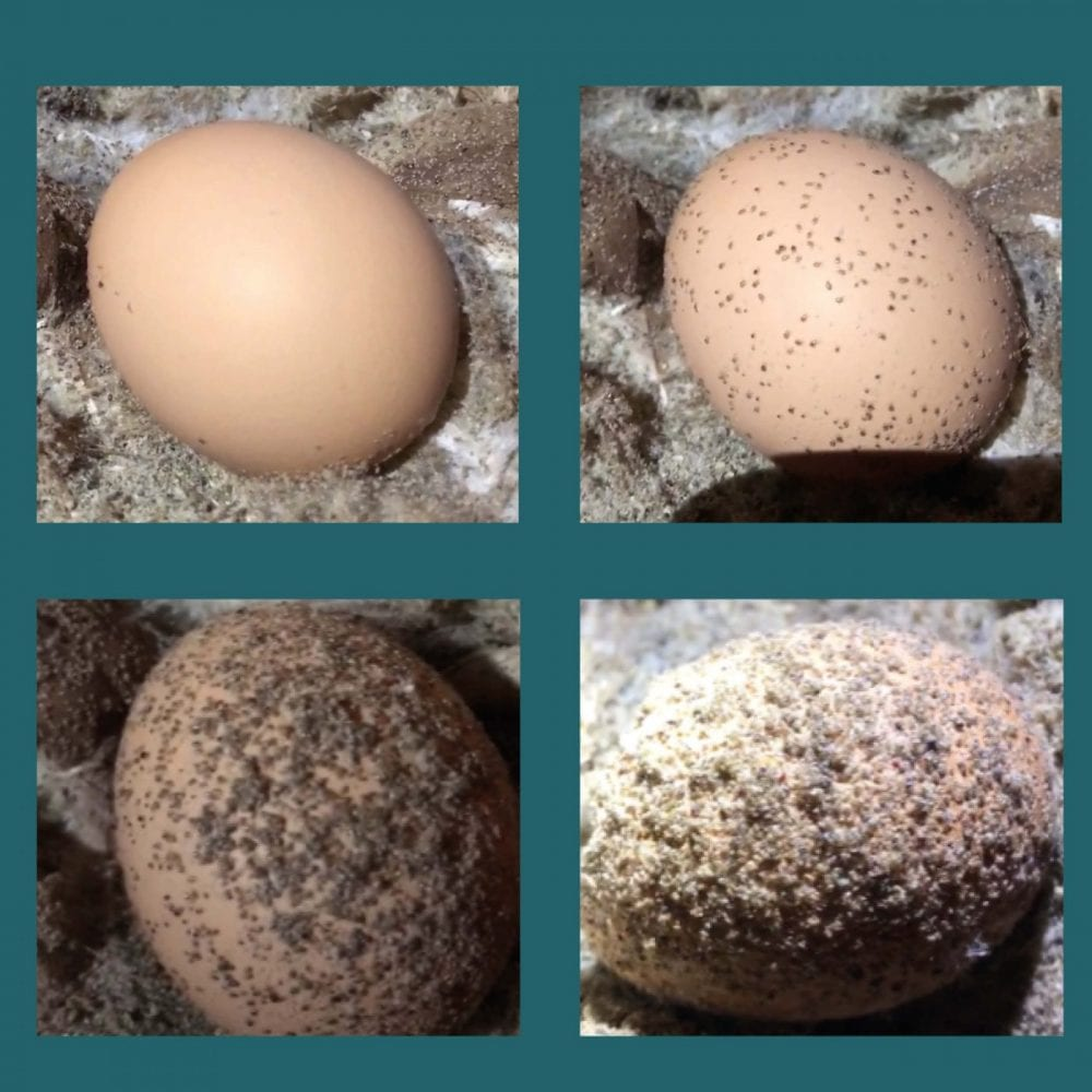 A warmed egg placed in poultry shavings in a heavily infested farm – the images were taken at five-minute intervals
