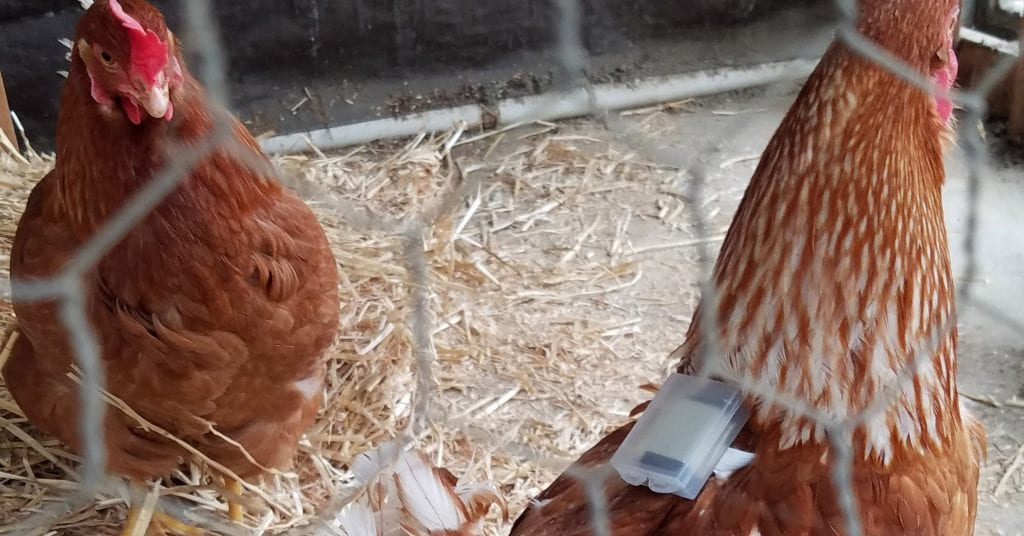 chickens wearing the new technology