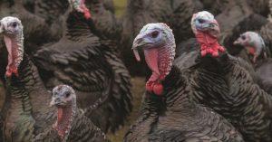 Seasonal turkeys