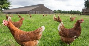 Hens on a poultry range