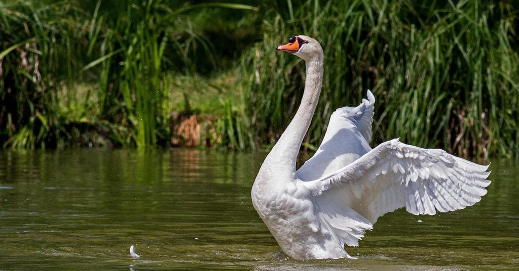 a swan flapping its wings