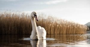 picture of a mute swan