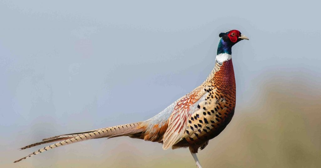 picture of a pheasant