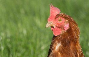 A free-range hen