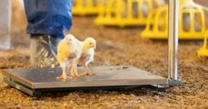 a broiler chick on the new weighing scales offered by poultry sense