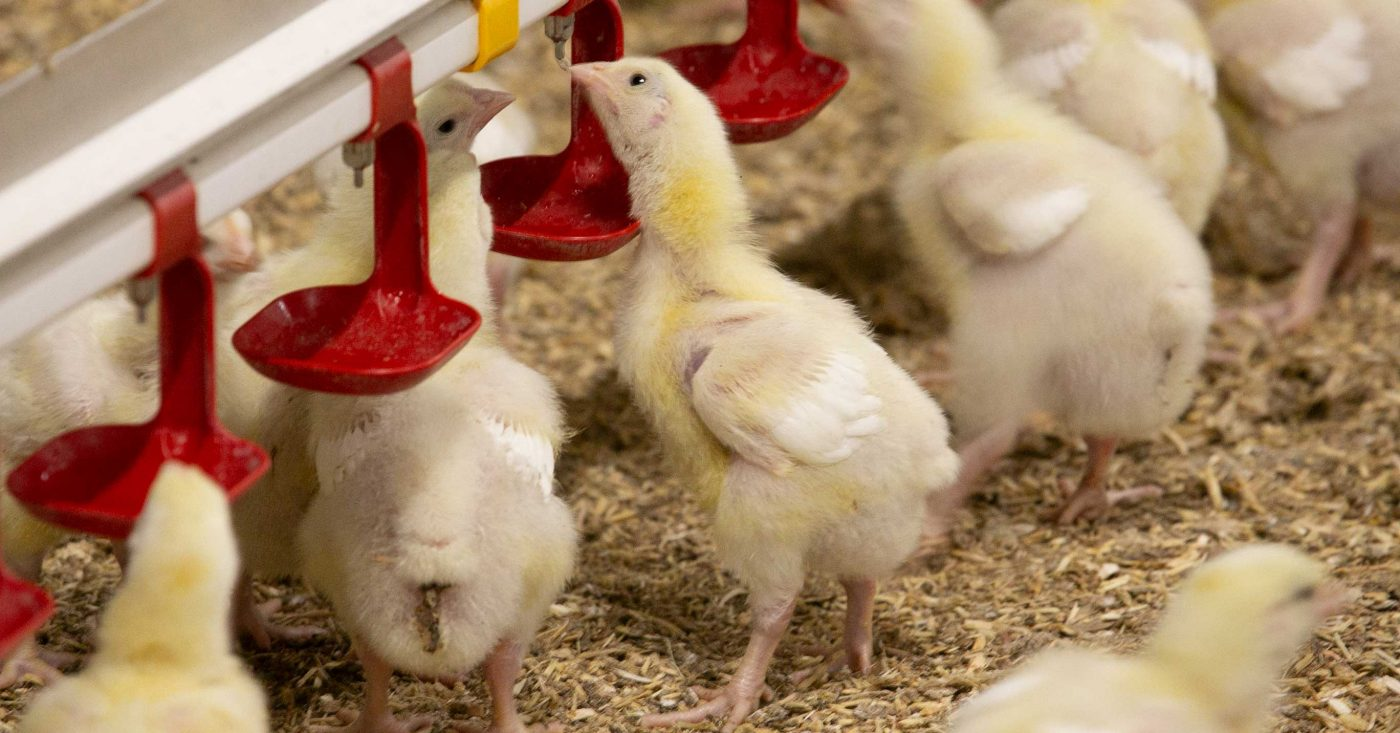 chicks drinking from a lubing system
